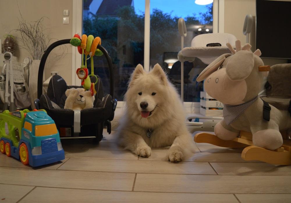 Preparer chien a l arrivee de bebe