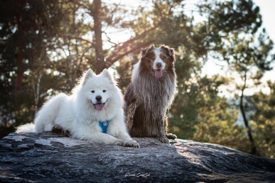Samoyede berger australien